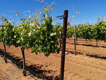 Winery grapevines. Rows of chardonnay grapes in a California vineyard Stock Photos