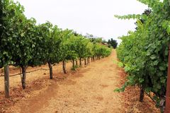 Winery. Organically produced grapevines in rows at a Sonoma California winery Stock Photo