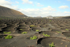 Winery plantation on Lanzarote Royalty Free Stock Photos