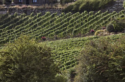 Winery Queenstown New Zealand. Rows of grape vines Stock Photos