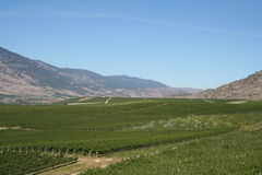 Winery rows. Hill with grapes at a farm stock images
