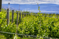 Winery Rows of Grapes Royalty Free Stock Images