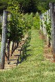 Winery Vineyards. Grape vines stand in perfect rows in a well manicured vineyard Stock Photo