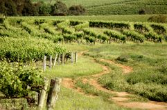 Clare Valley Vines. Winery vineyards featuring rows of contoured vines and grapes. Filmed Clare Valley, Australia Stock Image
