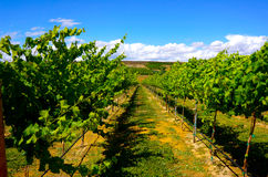 Vineyard Yakima Valley. Looking for wine tasting rooms and came across this beautiful winery in Yakima, WA Stock Photo