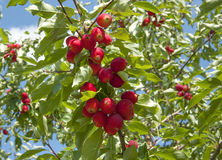 Winesap apples Royalty Free Stock Image