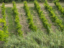 Wineyard在乡下, Conero,马尔什,意大利 库存图片