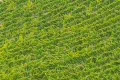 Wineyard在乡下, Conero,马尔什,意大利 免版税图库摄影