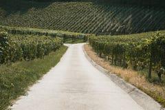 Wineyard在夏天 库存图片