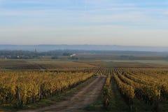 Wineyard в сотернах, Франция Стоковые Фотографии RF
