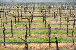 Wineyard 01 Stock Afbeelding