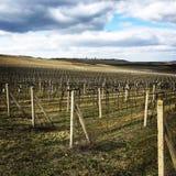 Wineyard Foto de Stock Royalty Free