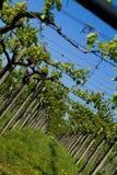 Wineyard fotos de archivo