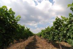 wineyard Arkivbilder