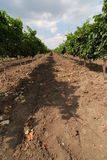 wineyard Royaltyfria Foton
