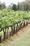 Wineyard Stockbild