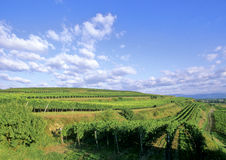 Wineyard Royalty Free Stock Images
