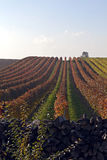 Wineyard Royalty Free Stock Image