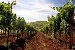 Wineyard Royalty Free Stock Photo