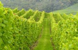 wineyard Royaltyfri Bild