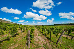 Wineyard photo stock