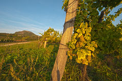 Wineyard Stock Photo