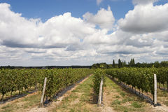 Wineyard. French rural landscape Royalty Free Stock Photography