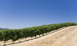 Wineyard Royalty Free Stock Photos