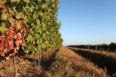 Wineyard Стоковое Изображение RF