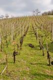 Wineyard Stock Photos