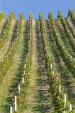 Wineyard Zdjęcia Stock