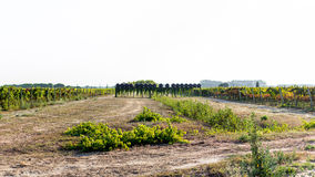 Wineyard Fotografia Stock