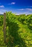 wineyard Royaltyfria Bilder