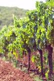 wineyard zdjęcia royalty free