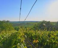 Wineyard bij de lente Zongloed Het landschap van de wijngaard Wijngaardrijen in Zuid-Moravië Royalty-vrije Stock Foto