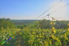 Wineyard bij de lente Zongloed Het landschap van de wijngaard Wijngaardrijen in Zuid-Moravië, Tsjechische Republiek Stock Foto