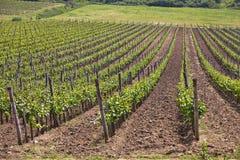 Wineyard Stock Image