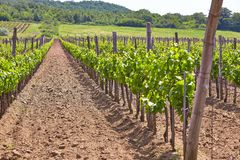 Wineyard Stock Photography