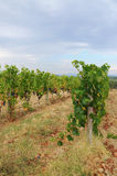 Wineyard dans le chianti en Toscane photographie stock libre de droits
