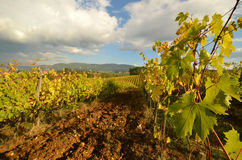 Wineyard dans le chianti en Toscane photographie stock