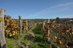 Wineyard 01 de la uva Imagenes de archivo