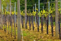 Wineyard in de lente Stock Afbeeldingen