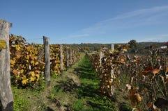 Wineyard 01 dell'uva Immagini Stock