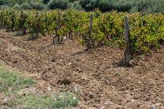Wineyard em um campo Gozo fotografia de stock royalty free