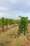 Wineyard en Chianti en Toscana fotografía de archivo libre de regalías