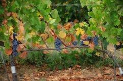 Wineyard en Chianti en Toscana fotos de archivo libres de regalías