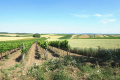 Wineyard and field at sunny day Stock Photo