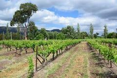 Wineyard Hunter Valley Nieuw Zuid-Wales australië stock afbeelding