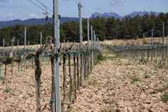 Wineyard i Spanien Royaltyfria Foton