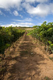 Wineyard in La Rioja Royalty Free Stock Image